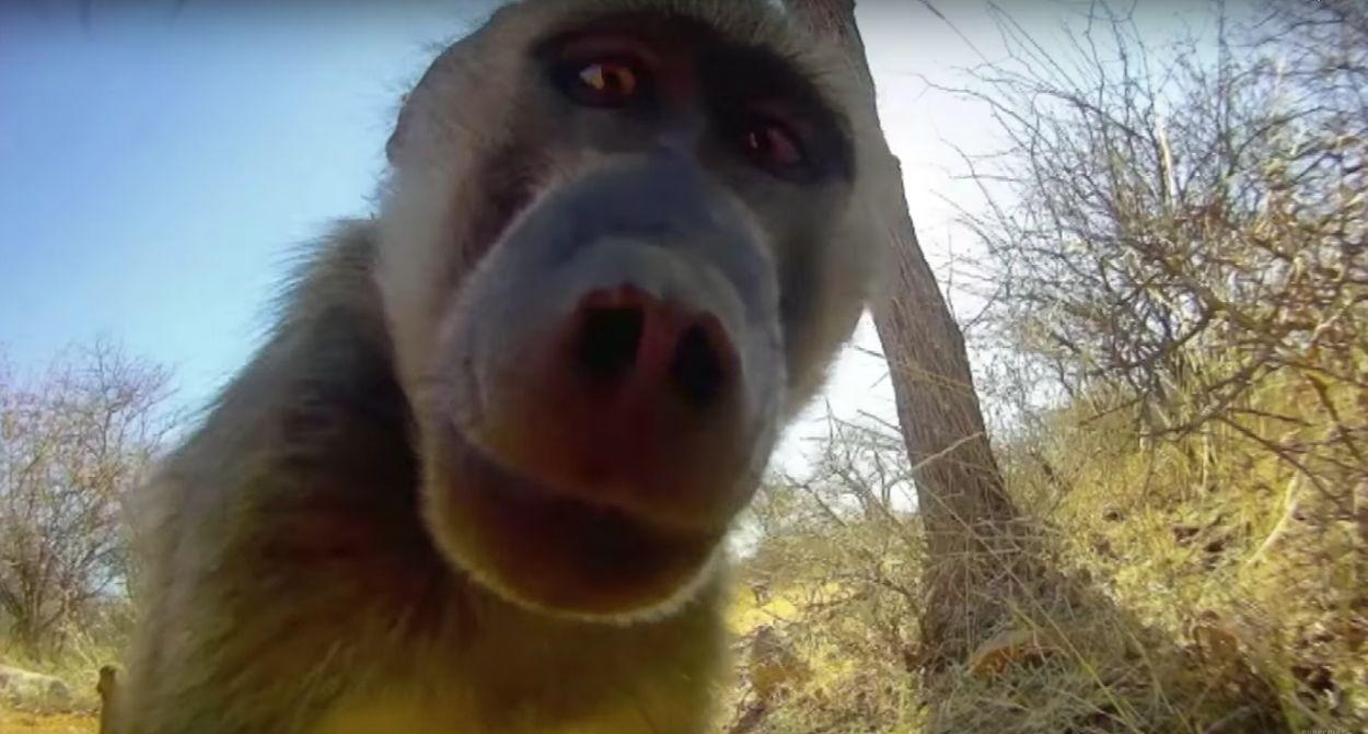 Afbeelding van De BBC gluurt mee met het dierenrijk in 'Animals With Cameras'