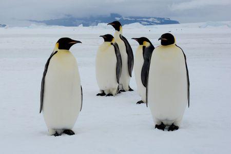 Afbeelding van Zondagvermaak: ploeterende pinguïns