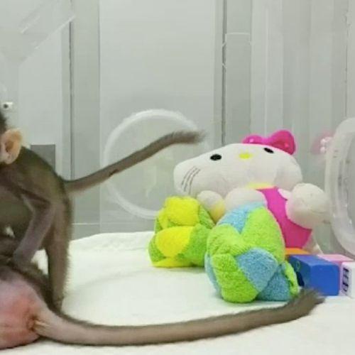 Afbeelding van Primeur uit China: wetenschappers klonen aapjes